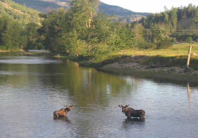 moose in kettle river